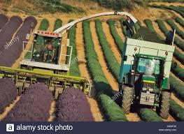 commercial harvesting of lavender near lavensole lavensole plateau