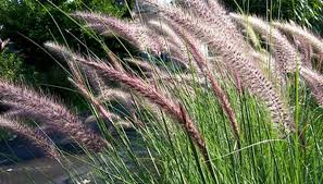 how to care for perennial ornamental grasses garden guides