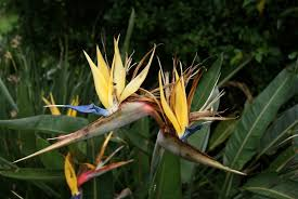bird of paradise flower deadheading bird of paradise should i deadhead bird of paradise