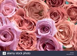 plan view of soft orange and pink roses stock photo royalty free