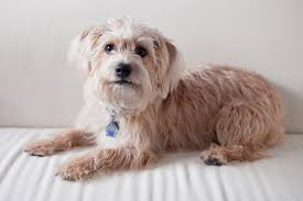yorkie poo haircut yorkiepoo yorkshire terrier poodle mix info temperament
