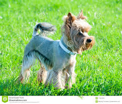 silky terrier hair cut well groomed haircut yorkshire terrier stock image image 17831683
