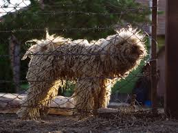 australian shepherd dogtime komondor dog breed information pictures characteristics u0026 facts