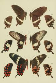 mimicry in butterflies