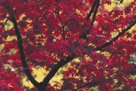 leaf ornamental trees home guides sf gate