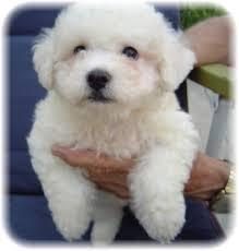 bichon frise breeders puppies for sale bichon frise bichon frises bichons frise