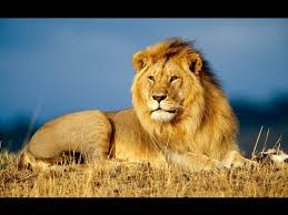 lions u0027 origin revealed by genetic analysis