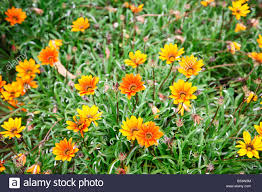 yellow garden flowers in ooty india stock photo royalty free