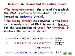 lecture 3 rna biosynthesis transcription the synthesis of rna