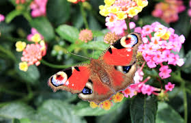 free stock photo of butterfly flowers nature