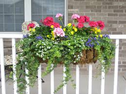 container planting gotta love hearty geraniums ivy yellow mini