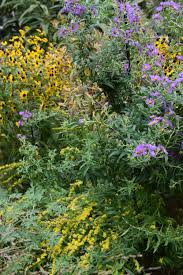 new england native plants companion plants for asters u2013 gardeninacity