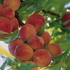 Patio Fruit Trees Uk by Stone Fruit Trees Thompson U0026 Morgan