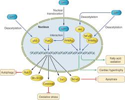 the role of sirtuins in cardiac disease heart and circulatory