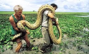 vidio film ular anaconda ophidiophilia man eating snakes