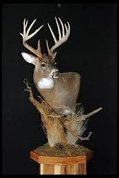 Deer Pedestal Show Me Deer Mounts With Habitat