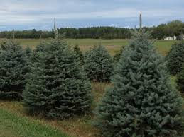 colorado spruce michigan grown landscape trees for sale black river