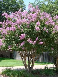 lagerstroemia zuni can be grown as a multi stemmed shrub or a 3 4