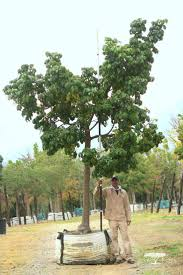 37 best leopard tree images on pinterest leopards front gardens