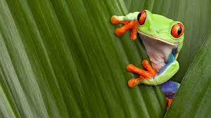 eyed tree frog facts and pictures national geographic