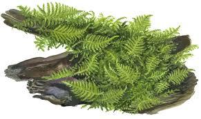 vesicularia dubyana u0027christmas u0027 tropica aquarium plants