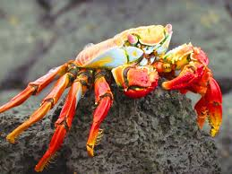 sally lightfoot crab fancy fish pinterest marine life