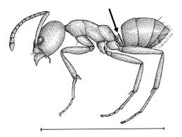 linepithema humile mayr the argentine ant