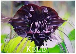 fresh seeds 100seeds lot black tiger orchid flowers seeds