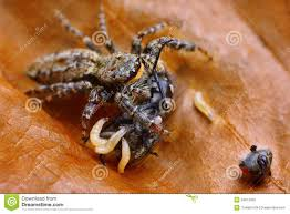spirit halloween jumping spider 7 best bugs in so cali images on pinterest animals spiders and