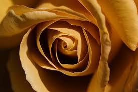 yellow brown flowers yellow brown rose david sanger photography