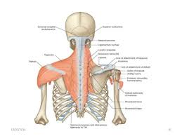 Shoulder And Arm Muscles Anatomy Muscles Of Shoulder