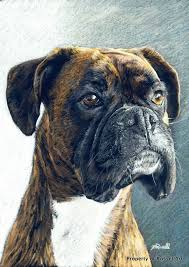 boxer dog art 20 best drawing oliver images on pinterest boxers drawings
