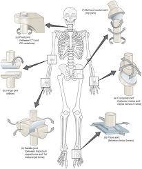 Anatomy And Physiology Saladin 6th Edition Synovial Joints Anatomy And Physiology