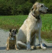 afghan hound vs wolfhound irish wolfhound pictures posters news and videos on your