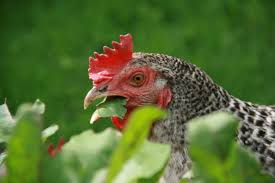 8 great supplements for healthy chickens all year long
