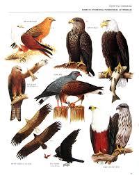 vintage bird print brahminy kite bald eagle black kite