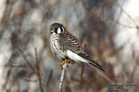 rob and the animals american kestrel the smallest and