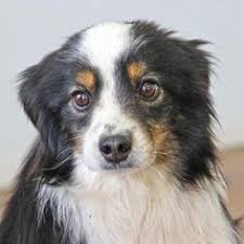 australian shepherd joliet adopt shane the most interesting dog in the world on animals