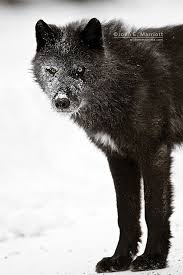 belgian sheepdog club of the rockies white patch wild black wolf in the canadian rockies john e