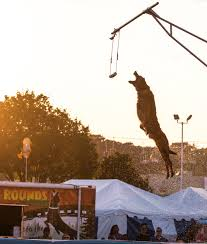 belgian malinois in movies max u201d the movie and malinois u2013 talented animals blog