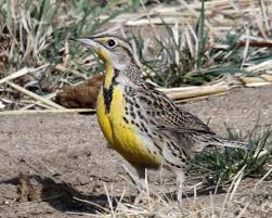 South Dakota birds images Map and list of state birds birdspix jpg
