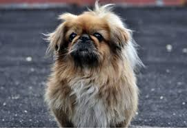 lion dogs the pekingese lion dogs favored by royalty