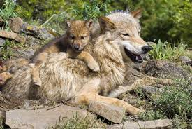 wolf cubs and at den site stock photo picture and royalty