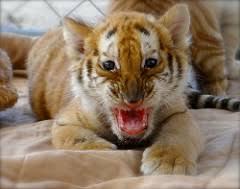 auburn alumni search tiger cub auburn football fans can meet play w flickr