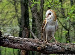 Barn Owls Habitat Interesting Facts About Barn Owls Just Fun Facts