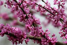 the best flowering trees in the spring in north carolina point