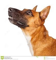 belgian shepherd history belgian shepherd mixed breed dog stock photos images u0026 pictures