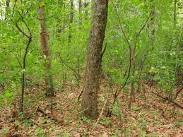 Massachusetts forest images Ecology and vulnerability forest oak hickory massachusetts JPG