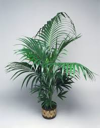 how to grow majesty or ravenea palms indoors