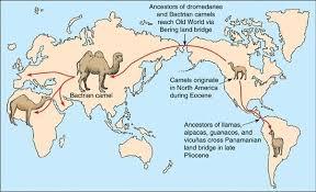 where did camels originate updated 2017 quora